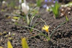 Primaveras de la primavera azafranes Imágenes de archivo libres de regalías