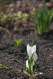Primaveras de la primavera azafranes Imagenes de archivo