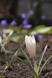 Primaveras de la primavera azafranes Fotografía de archivo libre de regalías
