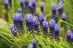 Primaveras de la primavera del Muscari Flores azules Foto de archivo