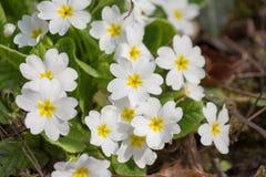 Primaveras de las flores blancas (prímula vulgaris) Imagen de archivo libre de regalías
