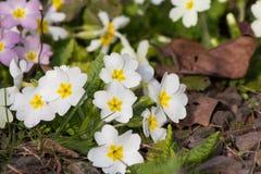Primaveras de las flores blancas (prímula vulgaris) en una cama Fotografía de archivo libre de regalías