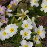 Primaveras de las flores blancas (prímula vulgaris) en una cama Foto de archivo libre de regalías