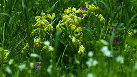 Primaveras de los veris de la prímula en la hierba verde gruesa almacen de video