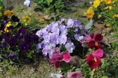 Primaveras del pensamiento y flores de la primavera Imágenes de archivo libres de regalías