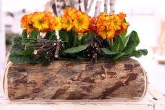 Primaveras en el pote de madera, concepto del tiempo de primavera Imagenes de archivo