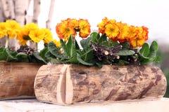 Primaveras en el pote de madera, concepto del tiempo de primavera Foto de archivo