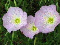 Primaveras rosadas foto de archivo libre de regalías