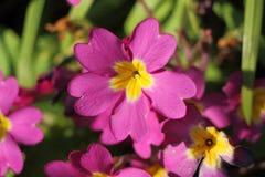 Primaveras rosadas en un jardín Imágenes de archivo libres de regalías