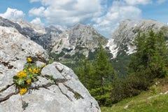 Primaverina alpina che cresce sulla roccia in Julian Alps, parco nazionale di Triglav, Slovenia Fotografia Stock Libera da Diritti
