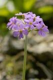 Primaverina Bird's-eye - Primula farinosa Immagine Stock Libera da Diritti