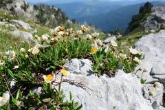 Primaverina che cresce dalla pietra, fondo dei ghiacciai della valle Fotografie Stock Libere da Diritti