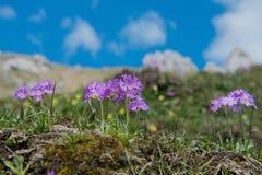 Primaverina della primavera nelle alpi tedesche Immagini Stock Libere da Diritti