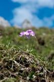 Primaverina della primavera nelle alpi tedesche Fotografia Stock