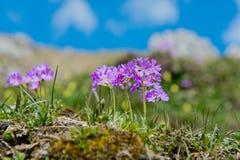Primaverina della primavera nelle alpi tedesche Immagine Stock Libera da Diritti