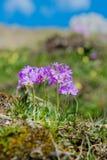 Primaverina della primavera nelle alpi tedesche Fotografia Stock Libera da Diritti