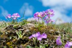 Primaverina della primavera nelle alpi tedesche Fotografie Stock