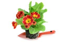 Primaverina di Ed su una piccola pala del giardino aspetti per essere conservato in vaso Immagine Stock Libera da Diritti