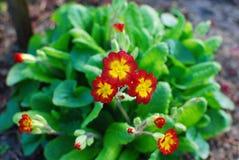 Primaverina di fioritura Fotografia Stock