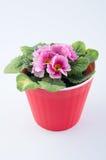 Primaverina piacevole che cresce in vaso di plastica rosso su fondo bianco fotografia stock