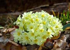 Primaverina - Primula vulgaris Immagini Stock
