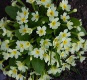 Primaverina - Primula vulgaris Fiore bianco con il centro giallo fotografie stock