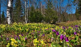 Primaverine della primavera di Kuzneck Alatau fotografia stock