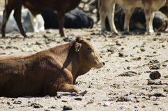 Prime cattle. Cattle farm in Northern Namibia, Africa Royalty Free Stock Images