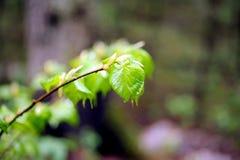 Prime foglie dell'calce-albero della molla Immagine Stock