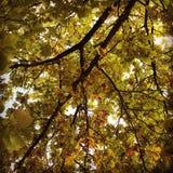Prime foglie marroni Fotografia Stock