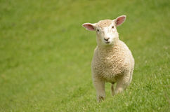 Prime Lamb Stock Photography