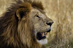 Prime male lion, Masai Mara, Kenya Stock Photo
