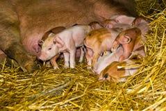 Prime ore dei porcellini di vita Fotografia Stock Libera da Diritti