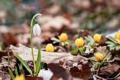 Prime primaverine tenere Primo piano delicato di fioritura di bucaneve in foresta, primi fiori della molla nel fogliame dell'anno fotografia stock libera da diritti