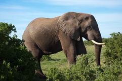 Prime young bull elephant Royalty Free Stock Images