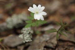 Primeira anêmona das flores da mola do campo imagem de stock