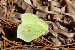 A primeira borboleta na primavera Imagem de Stock Royalty Free