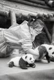 Primeira exposição pública de onze pandas do bebê na base da pesquisa de Chengdu do gigante Panda Breeding Fotos de Stock