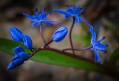 Primeira flor Foto de Stock