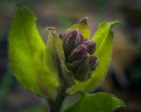 Primeira flor Imagens de Stock Royalty Free