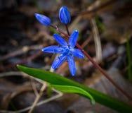 Primeira flor Imagem de Stock Royalty Free