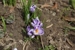 A primeira flor da mola - um açafrão Foto de Stock Royalty Free