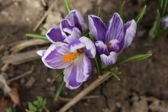 A primeira flor da mola - um açafrão Fotos de Stock Royalty Free
