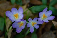 Primeira flor do açafrão da mola - grupo Imagens de Stock Royalty Free