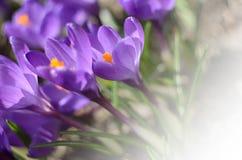A primeira mola bonita floresce açafrões floresce sob a luz solar brilhante Contexto dos feriados da mola Imagens de Stock Royalty Free
