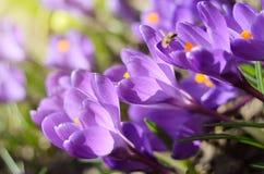 A primeira mola bonita floresce açafrões floresce sob a luz solar brilhante Contexto dos feriados da mola Foto de Stock