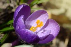 A primeira mola bonita floresce açafrões floresce sob a luz solar brilhante Contexto dos feriados da mola Imagens de Stock