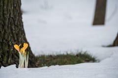 A primeira mola floresce açafrões amarelos na neve Imagem de Stock