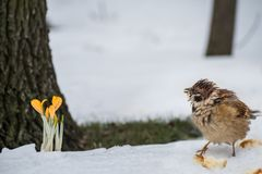 A primeira mola floresce açafrões amarelos na neve Imagem de Stock Royalty Free