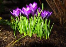 A primeira mola floresce açafrões roxos Imagens de Stock Royalty Free